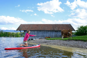Woman on stand up paddle board on Lake Staffelsee with cow on lakeshore, Bavaria, Germany