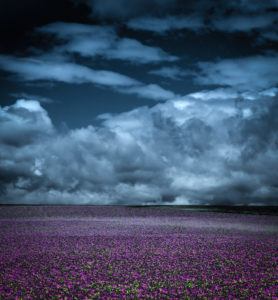 Storm clouds over vast purple poppy field