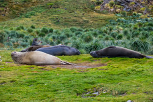 UK, South Georgia and South Sandwich Islands, Grytviken, Colony of southern elephant seals (Mirounga leonina)