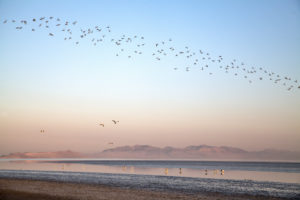 Säbelschnäbler, Morgenlicht, Großer Salzsee, Antelope Island, Utah