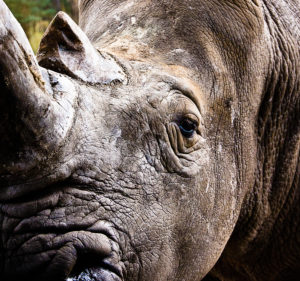 Serengeti Park, Hodenhagen, white rhinoceros, portrait