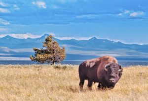 The USA, Wyoming, Yellowstone National Park, bison