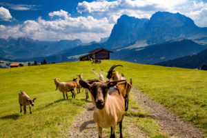 Italy, South Tyrol, Alpe di Siusi, herd of goats