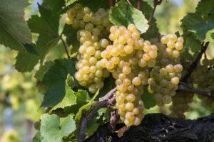 Weintrauben mit Beeren einer weißen Rebsorte, Maurer Weinberge, Wien, Österreich