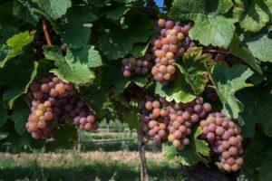 Ripe grapes, Maurer Vineyards, Vienna, Austria