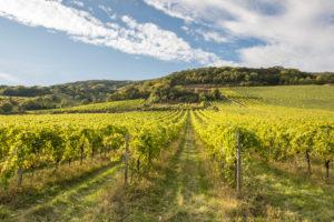 Weinanbaugebiet zwischen Gumpoldskirchen und Pfaffstätten, Niederösterreich, Österreich
