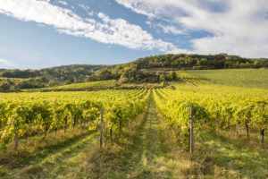 Wine-growing area between Gumpoldskirchen and Pfaffstätten, Lower Austria, Austria