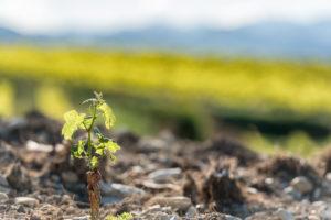 Roaix, Vaucluse, Provence, Provence-Alpes-Côte d'Azur, France, young vine near Roaix, Arondissement Carpentras,