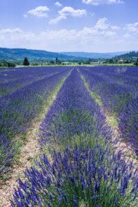 Villars, Vaucluse, Provence-Alpes-Côte d'Azur, France, Lavender fields in Provence