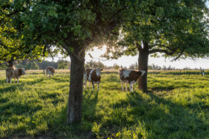 Güttersbach, Mossautal, Hessen, Germany. Cows in a pasture near Güttersbach.
