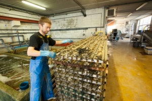 Oyster production, Etang de Thau, France, France