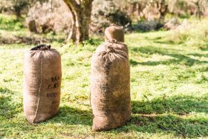 Jute sacks at the olive harvest in Greece