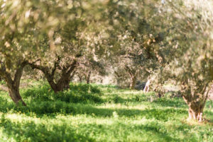 Olives on the tree, olive bush in Greece