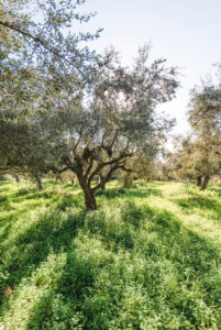 Olive grove in Greece just before the harvest with rich clover and sun, olive trees in winter