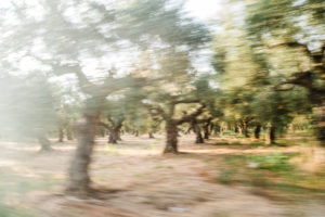Olive groves in Greece, olive trees, olive branch, olive trees in sunset