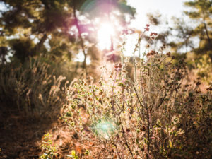 Natural thistles in the back light, light mood in the Greek nature, dried flowers in Greece