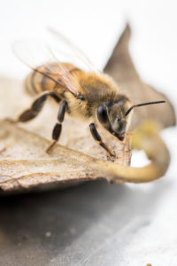 Single honeybee (Apis mellifera) close-up on a leaf