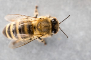 Single honeybee (Apis mellifera) close-up