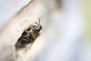 Honeybee, Apis mellifera, at the entrance hole of a beehive