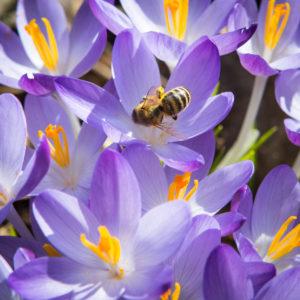 Honey bee (Apis mellifera) on a crocus collecting pollen.