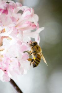 Honeybee (Apis mellifera) on a cherry blossom