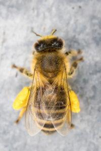 Honeybee (Apis mellifera) with pollen