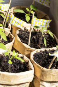 Homegrowing various tomato seedlings in DIY tetrapack plant pots