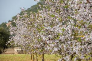 almond blossom on Majorca, Spain, Majorca, the Balearic Islands, Balearic islands, spring, blossom