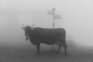 Cow, fog, signpost, alp Nova, fog, Austria,