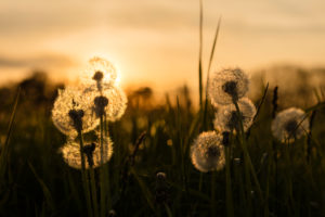 Dandelion meadow in the sundown, Bavaria, Allgäu, Irsee, sundown, evening