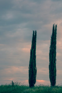 Cypresses at daybreak, Italy, Tuscany, Montalcino, scenery, Tuscan, typic
