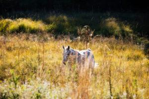 Horse on a summer meadow, Shagya, Arab,