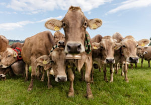 herd of cows after Almabtrieb in Kranzegg, Oberallgäu, Bavaria, Germany