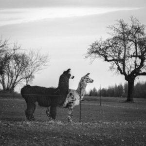 Llamas on llama farm Kaufbeuren in winter, Bavaria, Allgaeu, llama, llamas