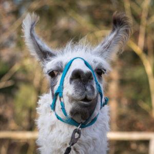Llama farm Kaufbeuren, llama, Portrait,