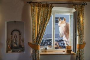 Shagya Arabian horse looking for breakfast in the kitchen of a farm, Germany, Bavaria