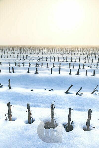 wheat stubble field in winter with snow and fog, sedico, belluno, italy