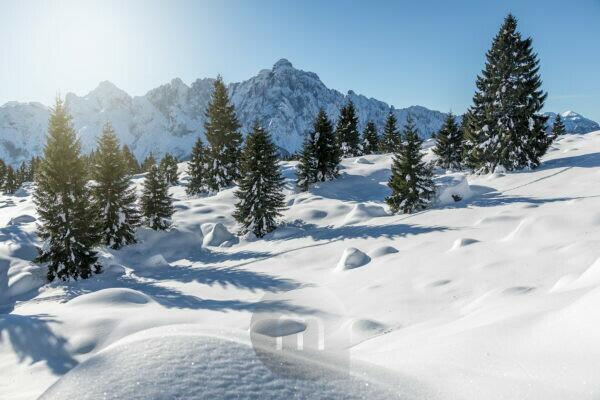 fir forest after the snowfall, in the background the group of cimonega with the piz di sagron, dolomiti feltrine, belluno, veneto, italy