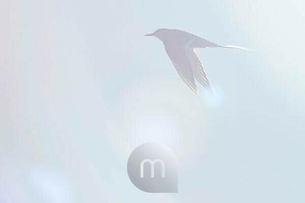 Tern in the back light, flying