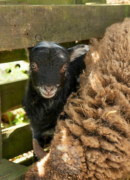 Sheep (ovis)