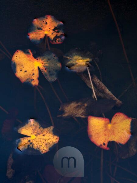 Europe, Germany, Hesse, Marburger Land, autumn colored water lily leaves on dark water