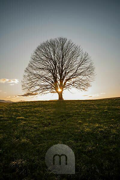 Sunset behind single tree