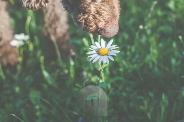 A dog, a poodle smells a daisy flower. Spring - The garden blooms in the sunlight.