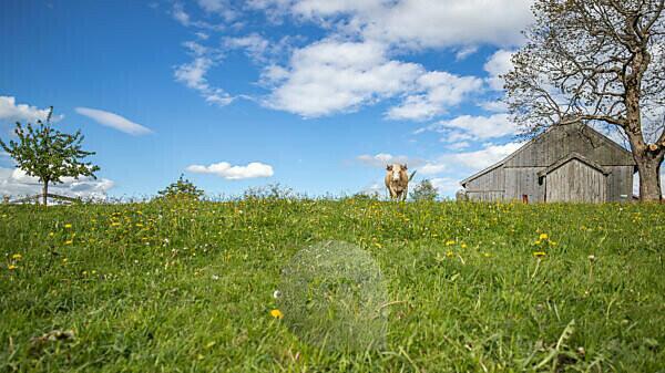 Der blaue Himmel mit weißen Wolken über Bayern. Eine Kuh auf einer Wiese.