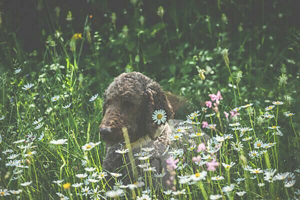 Ein Hund, ein Pudel liegt in einer Wiese. Frühling - Der Garten blüht im Sonnenlicht.
