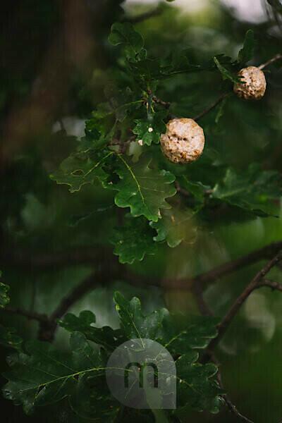 Oak, detail, own wasp, nest,