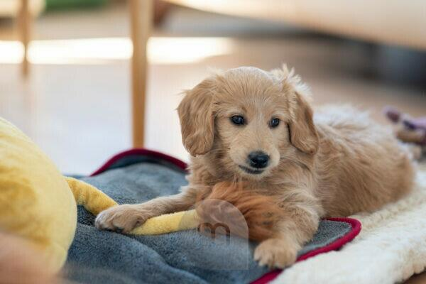 An 8 week old Mini Goldendoodle (a mixture of a golden retriever and a miniature poodle) plays with the tail of a stuffed lion.