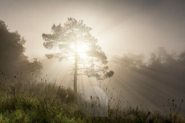 lonely tree on a misty morning, the rays of light cut through the fog, Valdarno, Arezzo,Tuscany, Italy