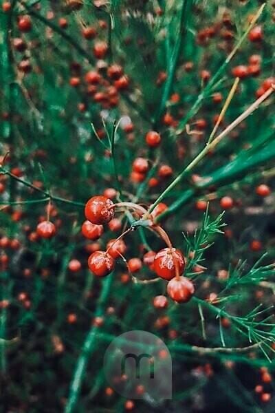 orange Beeren des Gemüsespargels (Asparagus officinalis)