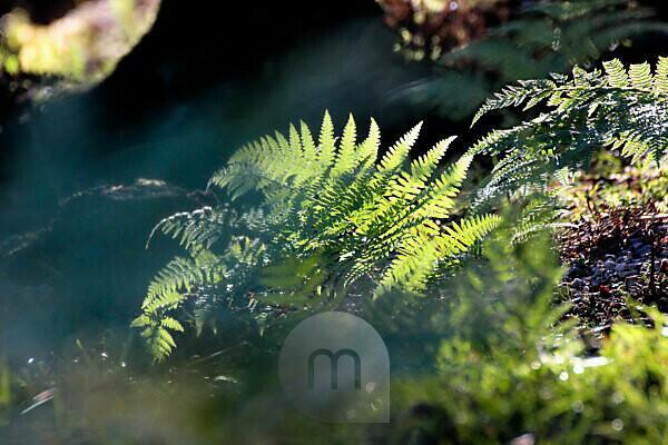 Waldboden, Farn